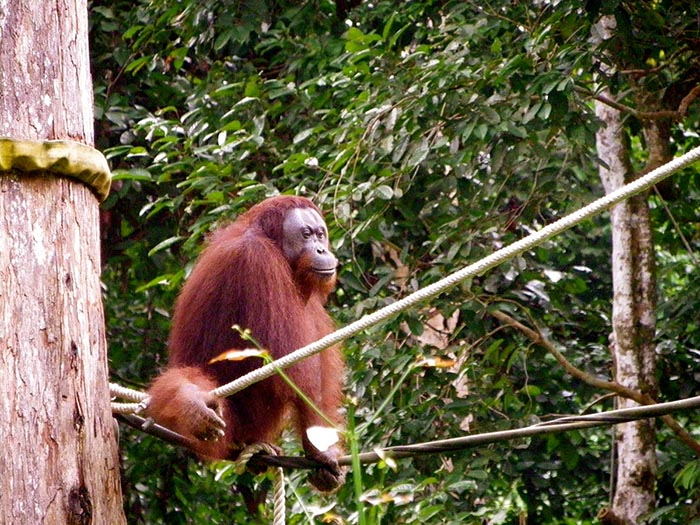 8 lecturas imprescindibles si vas a viajar a Borneo: Orangutanes en Sepilok
